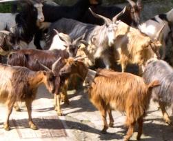Gianni's Goats