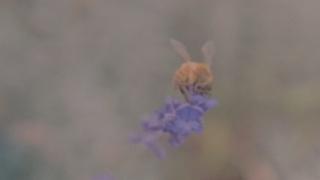 lavender-kiss_matthew-harper